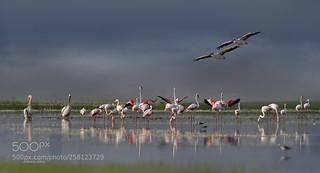 Flamingo (Greater Flamingo, Phoenicopterus roseus) ve Ak pelikan (Great White Pelican, Pelecanus...