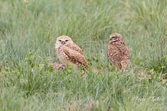 Beautiful Burrowing Owl pair