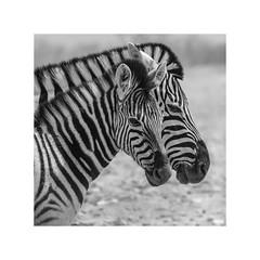 the look (Karl-Heinz Bitter) Tags: zebra africa namibia etosha nationalpark animals stripes tiere mutter kind mother child karlheinzbitter framed blackwhite monochrom wildlife