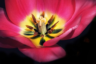 Toronto Ontario ~ Canada ~ Edwards Gardens ~ Botanical Garden ~ Glowing Tulip