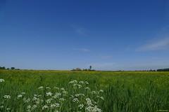 spring meadow (jehazet) Tags: landscape landschap weiland meadow fluitenkruid cowparsley boterbloem buttercup groningenprovincie