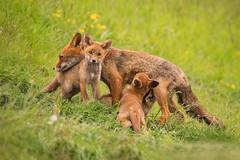 Mother Love (dickvduijn) Tags: fox redfox cub cubs vixen vulpes wildlife nature
