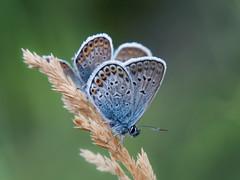Plebejus argus (Kalmár_Zsuzsanna) Tags: butterfly mariposa schmetterling insect insekt insecto animal tier olympuse620 macro nature natur natura plebejusargus