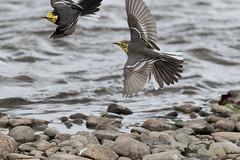 Birds (bold1017) Tags: mongolia animals birds boldbaatarphotgraphy nature wild life