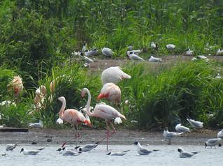 Flamingos Zwibrock