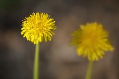 Dandilions With Ants - So Natural (Modkuse) Tags: dandelion ants flower natural wildflowers nature nikon nikondslr nikond700 105mmf28nikkormacro nikon105mmf28macronikkor macro macrophotography macrolens macroflowers macroinsects nikonmacro