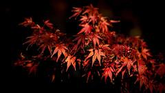 Maples (Eddy Summers) Tags: maple tree plant red autumn macro leaf leaves takumar takumar135mm takumar135mmbayonet pentaxk1 pentaxaustralia pentax branch lowkey