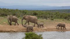 Mommy at the waterhole with several of her kids. (jimbobphoto) Tags: wildlife wild elephant animal waterhole family addo southafrica africa