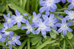 Spring flowers (aixcracker) Tags: flower blomma kukka spring vår kevät april huhtikuu nikon d800 60mm f28d micro porvoo borgå suomi finland green grön vihreä blue blå sininen
