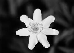 Pullulation (zoltannagel) Tags: leica r62 leitz wetzlar macro elmarit 60mm f28 ilford panf 50 iso ilfotec lc29 reflecta proscan 7200 home developed black white negative film flower bw pullulation