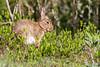 ©Mark Kras-Konijn-_DWL2958.jpg (markkras-fotografie) Tags: zoogdieren konijn fauna europeanrabbit oryctolaguscuniculus nederland nl