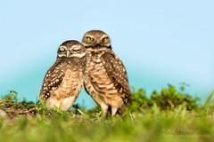 Hoo-Hoo's The Cuter Hooter ? (ac4photos.) Tags: owl burrowingowl bird nature wildlife animal florida naturephotography wildlifephotography owlphotography birdphotography animalphotography nikon d500 tamron150600mm ac4photos ac