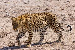 IMG_3818 (tregnier) Tags: namibia roadtrip africa travel desert animals sossusvlei leopard cheetah lion solitaire trip