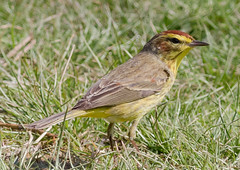 Palm Warbler (tresed47) Tags: 2018 201804apr 20180414extonparkbirds april birds canon7d chestercounty content extonpark folder palmwarbler pennsylvania peterscamera petersphotos places season spring takenby us warbler