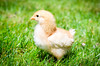 Baby Chickens-8 (sammycj2a) Tags: chick chickens backyardfarm farm chicks pullets straightrun backyard nikon nikkor lightroom