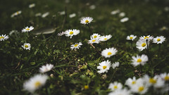 sposarci con i cerotti usati in passeggiate su spiagge deturpate (SonjiaPhornography) Tags: flower flowers daisy daisies nature naturephotography photography art fineart sony sonyalpha sonya7ii alpha lelucidellacentraleelettrica