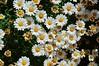 """Piccole margherite - """"Leucanthemum vulgare"""" (costagar51) Tags: isoladellefemmine palermo sicilia sicily italia italy piante fiori natura"""