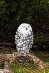 Toronto Zoo - Snowy Owl (InfiniteBlue) Tags: animals birds buboscandiacus canada country infiniteblue northamerica nycteascandiaca on ontario owls scarborough snowyowl toronto torontozoo
