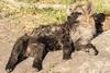 Young Hyena (matttrevillion) Tags: etosha namibia africa hyena