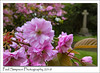 Pink Blossom (Paul Simpson Photography) Tags: paulsimpsonphotography imagesof imageof photoof photosof churchyard gravestone tree leaves nature naturalworld sonya77 blossomtree spring seasonal cherryblossom flowering england uk 2018