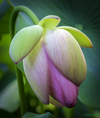 lotus-bob-gross (bgdesign2016) Tags: lotus flower bloom bud