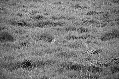 Hiding Rabbit  Monochrome (brianarchie65) Tags: holdernessroad windmill windmills sales trees rabbit skidbymill skidby grass monochrome blackandwhite blackandwhitephotos blackandwhitephoto blackandwhitephotography ngc unlimitedphotos flickrunofficial flickruk flickr flickrcentral ukflickr canoneos600d geotagged brianarchie65