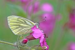 Green Veined White - Michael Bird (Michael R Bird) Tags: bunnywoods greenveinedwhite butterfly nottinghamshire canon f28l green veined white bunny woods pieris napi