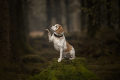 Hi 5 (Dogstar_photography) Tags: beagle rescue dog caring for animals trust canon5dmkiv ef135mmf2lusm