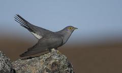 Cuckoo (J J McHale) Tags: cuckoo cuculuscanorus scotland nature wildlife highlands