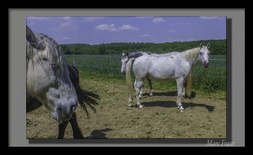 Puttelange 2018 05 - 022 lr Tpz b hd chevaux