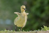 This pilates is easy! D85_3097.jpg (Mobile Lynn) Tags: gosling birds nature geese anseriformes bird fauna goose wildlife estuaries freshwater lagoons lakes marshes ponds waterfowl webbedfeet hurst england unitedkingdom gb coth specanimal coth5 ngc npc