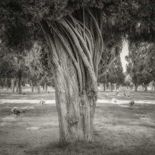 Cemetery Trees - Ilford PanF+ v.8-Edit-2