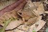 Rhinoceros Frog (Limnonectes plicatellus) (Steven Wong (ATKR)) Tags: steven wong siew por atkr45 stryker wsp atkr herp herping malaysia rhinoceros frog limnonectes plicatellus