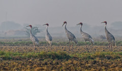 sarus cranes (@nikondxfx (instagram)) Tags: saruscrane paddyfield india delhi gurgaon