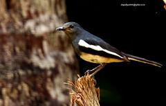 IMG_3163 Oriental Magpie Robin (Copsychus saularis) (vlupadya) Tags: greatnature aves fauna indianbirds oriental magpie robin copsychus karnataka kundapura