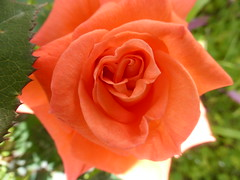 My orange rose!!  P1040560 (amalia_mar) Tags: weeklythemes flowers flora fiori fleur rose orange spring garden sundaylights
