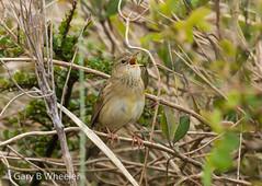 Grasshopper Warbler (Ponty Birder) Tags: g b wheeler pontybirder garywheeler birds wales warbler