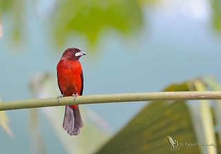Crimson-backed tanager - Tangara à dos rouge - Tangara dorsirroja -  Ramphocelus dimidiatus
