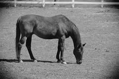Horse, Danada Forest Preserve. 24 (EOS) (Mega-Magpie) Tags: canon eos 60d outdoors horse equine danada forest preserve wheaton il dupage illinois usa america bw black white mono monochrome