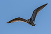 Curlew (PINNACLE PHOTO) Tags: curlew numeniusarquata bird large wading inflight flying surrey call long bill feather