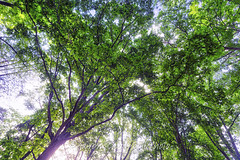 Foliage Overhead, 2018.05.11 (Aaron Glenn Campbell) Tags: norrisdam statepark tn tennessee tennesseestateparks andersonville andersoncounty backlit backlighting sunlight shadows trees glow softfocus outdoors nature optoutside 3xp ±2ev hdr macphun aurorahdr2017 sony a6000 ilce6000 mirrorless rokinon 12mmf2ncscs wideangle primelens manualfocus emount