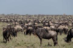 Back to work.... (Hector16) Tags: namiriplains eastafrica tanzania serengeti wildlife nature shinyangaregion tz ngc gettyimages