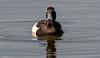 Tufted Duck (Steve (Hooky) Waddingham) Tags: bird british countryside coast duck nature wild wildlife wildfowl rutland water