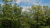 Impressioni di maggio - Acacie in fiore (frank28883) Tags: acacia acacie fiori fioritura fioribianchi alberi primavera maggio