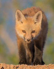 Eye to Eye with a Baby Fox (Amy Hudechek Photography) Tags: amyhudechek baby fox kit spring colorado nature wildlife eye contact nikond500 nikon600mmf4
