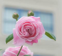 Alien Rose. (Omygodtom) Tags: alien odd strange dof portrait tamron90mm d7100 street scene scenic senery flower rose usgs