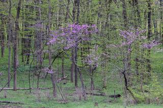 Redbuds & Spring Green