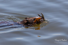 May 4, 2018 - A Muskrat makes off with a crawdad at the fairgrounds. (Tony's Takes)