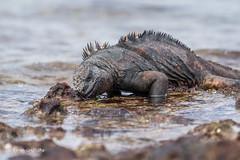Marine Iguana feeding 500_3644.jpg (Mobile Lynn) Tags: wild marineiguana iguana reptiles nature amblyrhynchuscristatus fauna reptile wildlife baltra galapagosislands ecuador ec