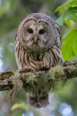 Clarke_180510_3688.jpg (www.raincoastphoto.com) Tags: birds owls birdsofbritishcolumbia barredowls birdsofcanada birdsofnorthamerica strixvaria britishcolumbia canada